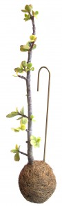 japansk træ