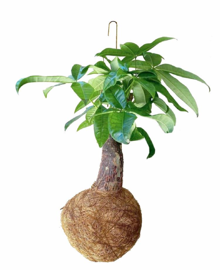 pachira-trunk-large-kajaskytte-kokadama-planteplaneter-hangingtree