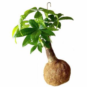 kokadama-planteplaneter