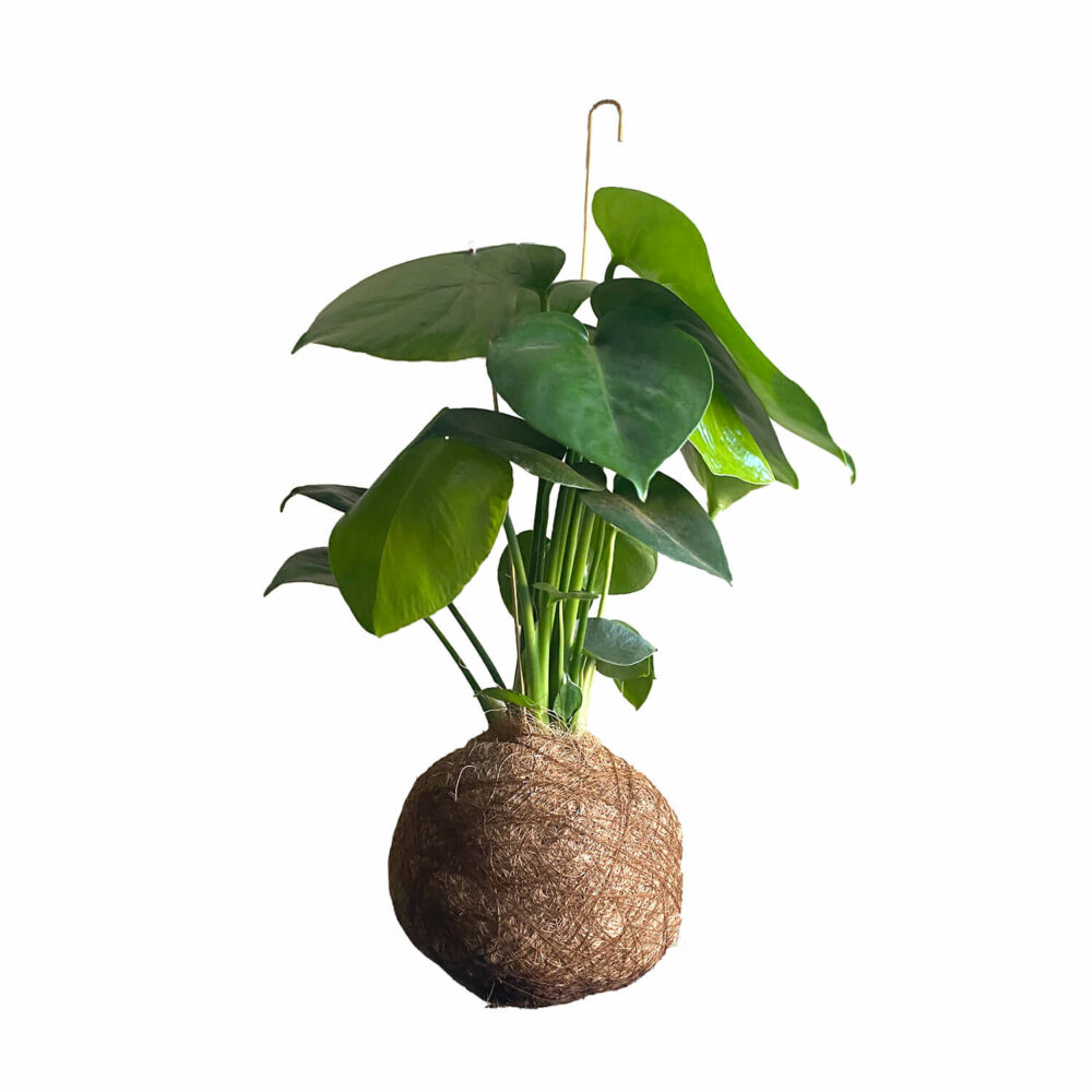 monstera-kajaskytte-kokadama-planteplaneter-hangingtree